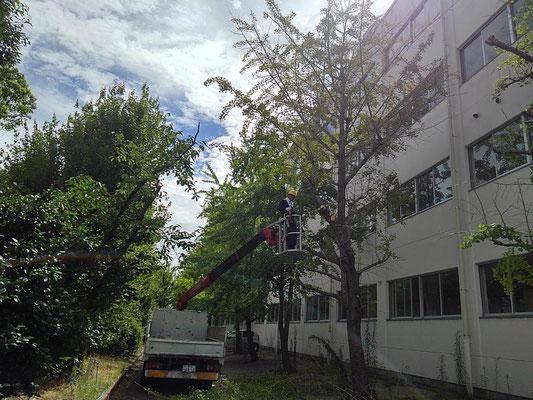 高校の樹木剪定