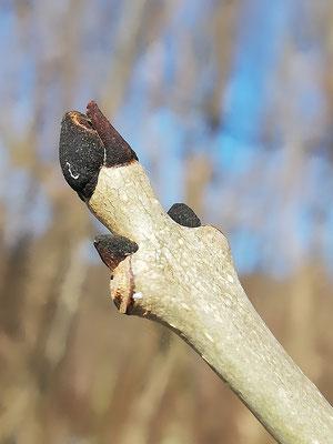 Esche gemeine (Fraxinus excelsior)