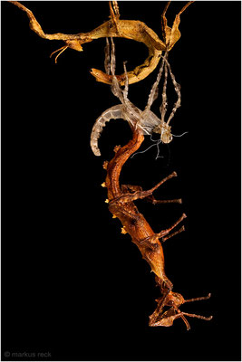 HÄUTUNG einer Australischen Gespenstschrecke - spektakulärerweise nicht wie gewöhnlich an einem Ast, sondern an einem juvenilen Artgenossen hängend