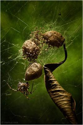 SPIDERMÄNNER AN MEINEM KÜCHENFENSTER - Hunderte Baby-Spinner waren gerade im Begriff, meine Wohnung zu erkunden, doch ich habe sie noch rechtzeitig entdeckt und konnte sie in die Natur übersiedeln.