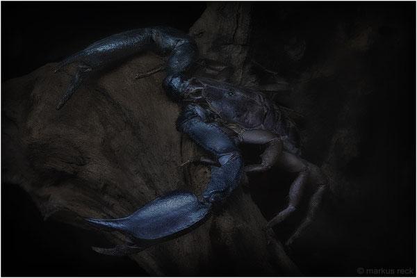JÄGER DER NACHT - Skorpione sind lichtscheue Gesellen. Erst wenn es dunkel wird, verlassen sie ihre Verstecke, um auf Beutejagd zu gehen. Nur wenige Arten klettern dabei so geschickt auf Bäume wie dieser Opisthacanthus spec. aus Madagaskar.