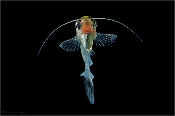 Kryptopterus vitreolus (INDISCHER GLASWELS)