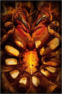 EXUVIE (abgestreifte Haut) einer Acanthoscurria geniculata (Weißknievogelspinne)