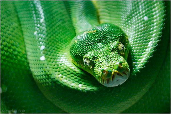 Manchmal latent garstig, aber immer wunderschön: MORELIA VIRIDIS, der Grüne Baumpython