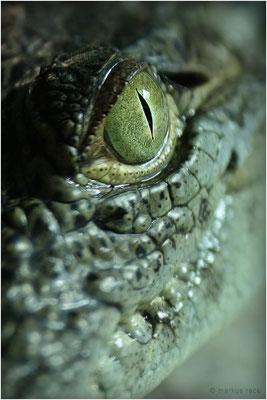CROCODYLUS NILOTICUS - Ausgewachsene Nilkrokodile werden bis zu sechs Meter lang. Allzu übermütig herumtollen sollte man jedoch auch mit einem 90-cm-Jungkroko wie diesem nicht, wenn einem seine Finger lieb sind. ;-)