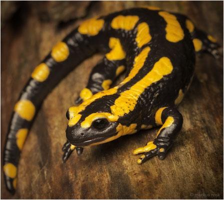 Salamandra salamandra (Feuersalamander) - DER LUSTIGE LURCH lungerte direkt vor unserer Haustür herum.