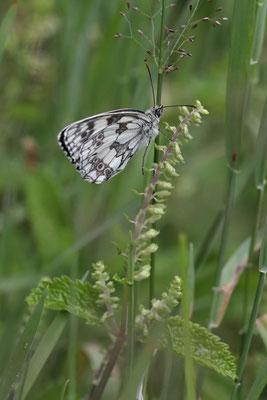 Schmetterlinge im Schwarzwald - Das Schachbrett zugeklappt