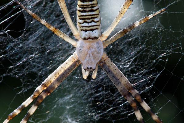 Wespenspinne, weibliches Jungtier Detailfoto