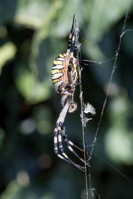 Wespenspinne, erwachsenes Muttertier Seitenansicht