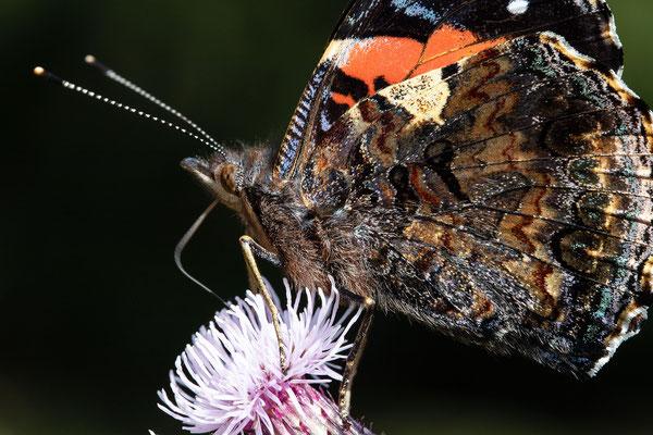 Schmetterling im Schwarzwald- Der Admiral - Detailaufnahme