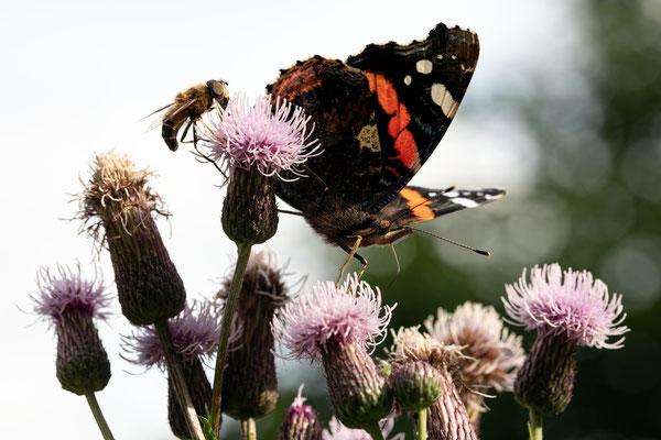 Schmetterlinge im Schwarzwald - Der Admiral