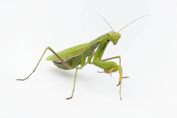 grüne Gottesanbeterin