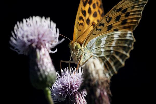 Schmetterlinge im Schwarzwald, der Kaisermantel in Nahaufnahme