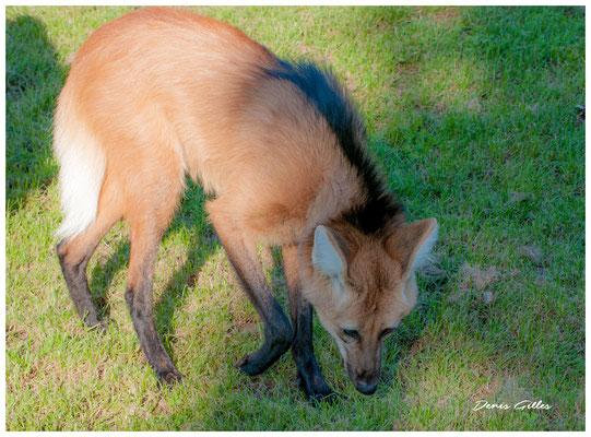 Loup roux