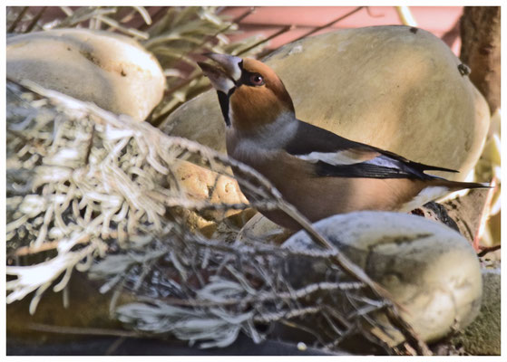 Gros bec casse noyau mâle aux couleurs d'hiver