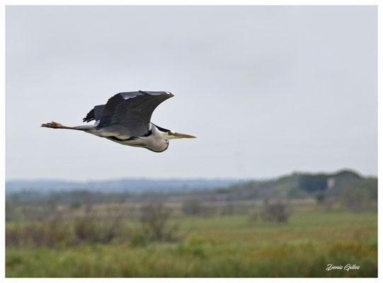 Héron cendré en vol très caractéristique avec son cou replié.