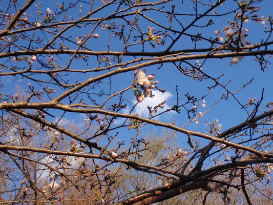 現場近くの桜