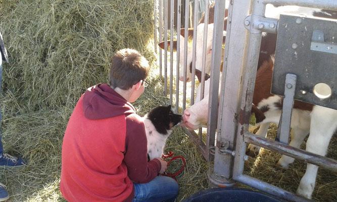 ........lernt Kühe kennen. Beide, Kühe und Karo fanden sich gegenseitig so toll, ....