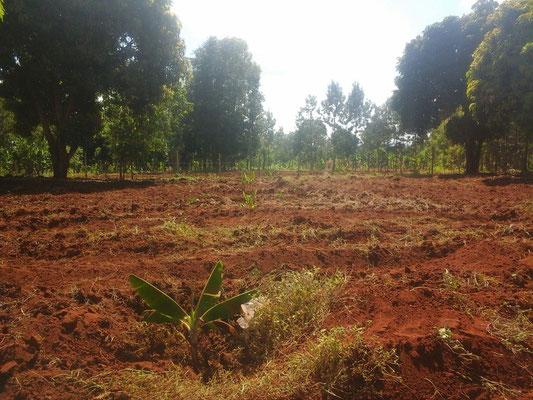 Die Bananenstauden schauen schon schön aus der Erde raus...