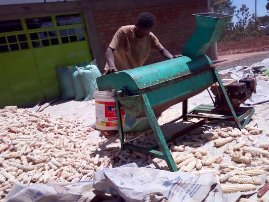 Die Maiskörner werden maschinell gedroschen