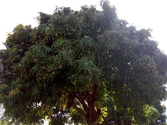 Die Mangobäume hängenso voll mit den kleinen zuckersüßen Mangos....