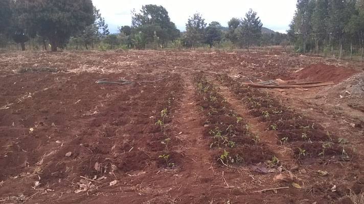 Unsere Tomatenpflanzen...