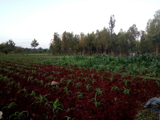 Die Bohnen und der Mais können wachsen...