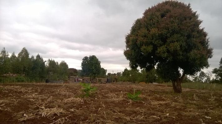 Die Mangobäume fangen an zu blühen. Die Maisernte war ein Totalverlust wegen Dürre