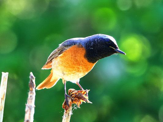 Auch seltene Vögel haben wir: Gartenrotschwanz