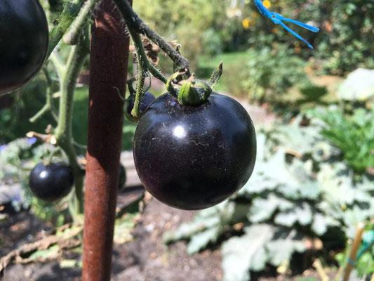 Indigo Rosé Tomaten. Enthalten zahlreiche Vitamine B1-B3, Vitamin C, Magnesium, Eisen, Kalium, Zink usw.