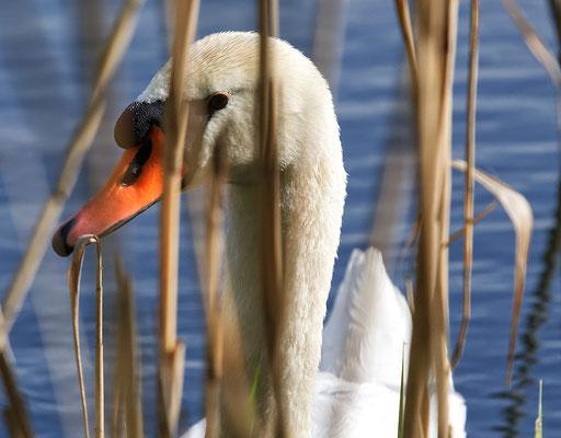 Schwan auf dem Teich in unserem Gelände