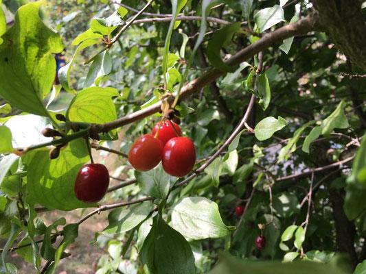Kornelkirsche, auch Dirndlkirsche genannt. Gesundes Wildobst, kann Fieber senken. Die Wildpflanze stammt aus dem Kaukasus, enthält viel Vitamin C. Die Früchte sind zwischen September und Oktober reif.