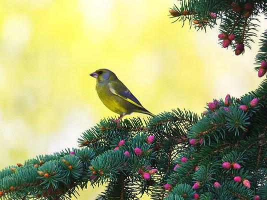 Grünfink auf Tannenzweig
