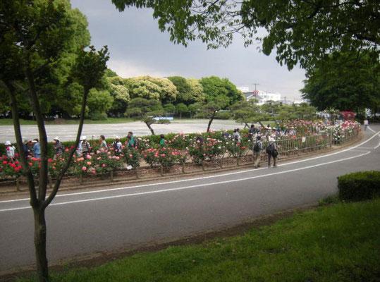 ガイドと巡る「平塚のばら名所めぐり」平塚市総合公園 北側花壇(2018年5月18日