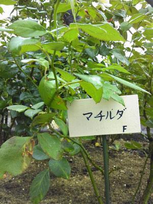 神奈川県二宮町生涯学習センター「ラディアン」前のバラの花壇 2018年7月7日