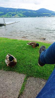 aufdringliche Enten
