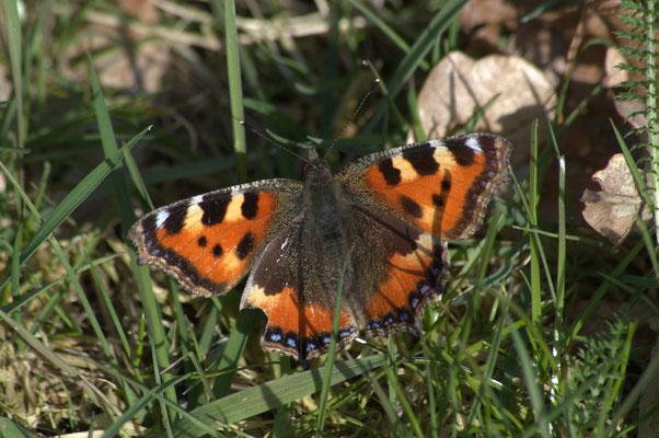 Schmetterling 2016