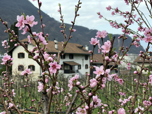 21. März 2020: Pfirsichblüte am Pfannenstielhof