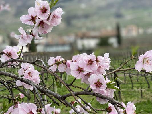 20. März 2020: Mandelblüte am Pfannenstielhof