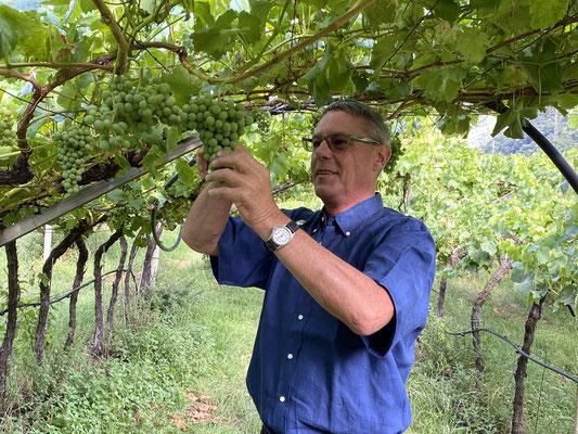 Rechtzeitig vor Reifebeginn bzw. Weichwerden der Beeren  haben wir nun das Traubenteilen abgeschlossen.
