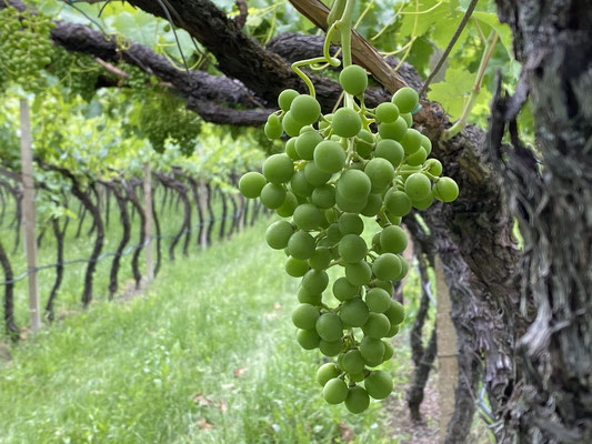 20. Juni 2020: Die Beeren sind erbsengroß; die Trauben hängen.
