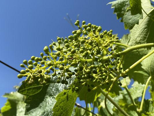 27. Mai 2020: Beeren sind schrotkerngroß; die Trauben beginnen sich abzusenken.