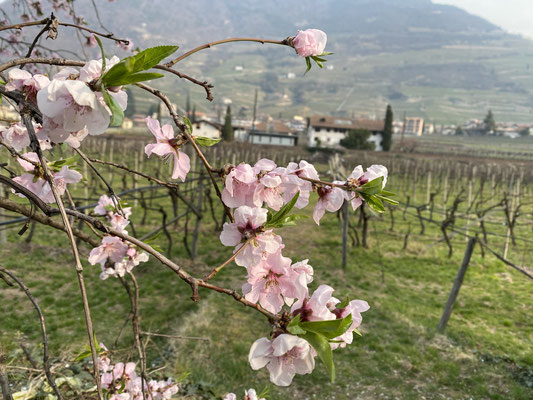 27. März 2021: Die Mandelbäume blühen.