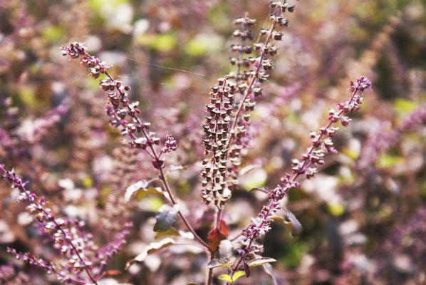 Homoeopatelier-Frauke-George-Pflanzen-Homoeopathie-Ocimum-sanctum