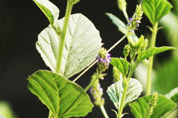Homoeopatelier-Frauke-George-plants-Homoeopathy-Psoralia corylifolia