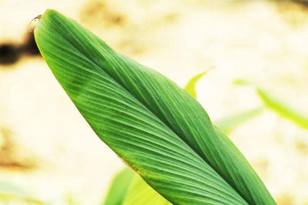 Homoeopatelier-Frauke-George-plants-Homoeopathy-Curcuma longa