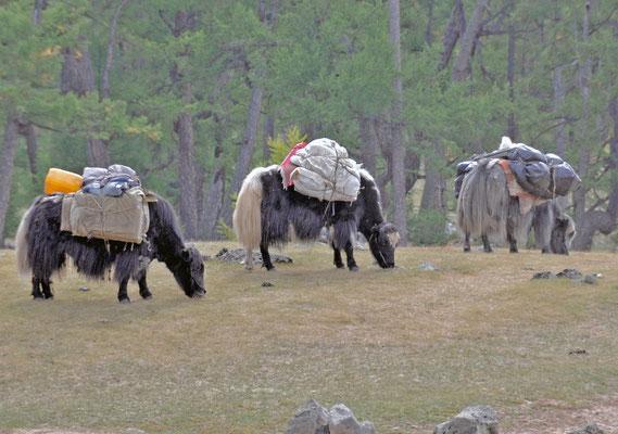 Yaks bei der Arbeit, Mongolei