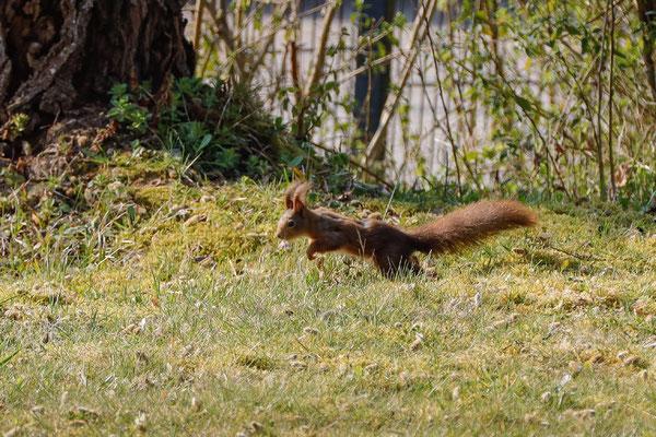 ...und Eichhörnchen hell