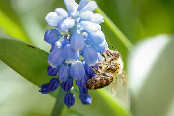 Nachbars Bienen bei der Arbeit...