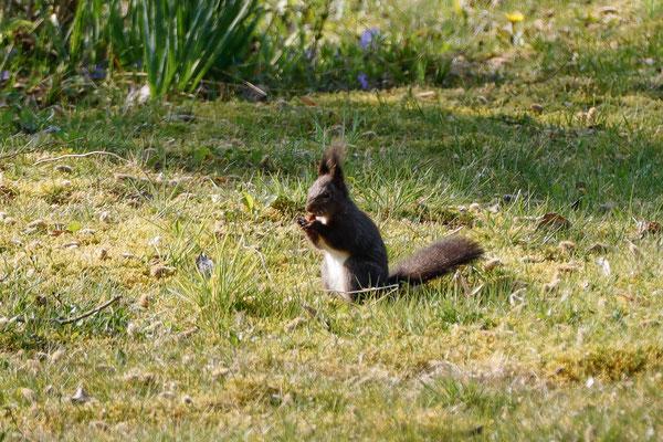 Eichhörnchen dunkel...